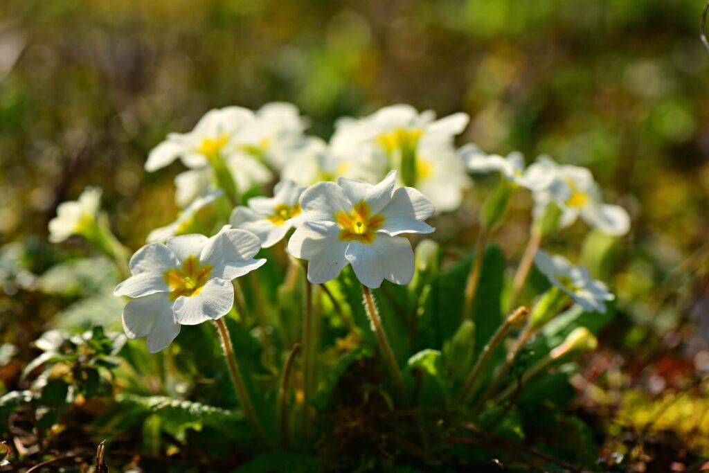 Çuha çiçeği Yenilebilir Çiçek