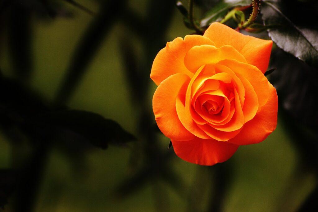 Gül yenilebilir Çiçek