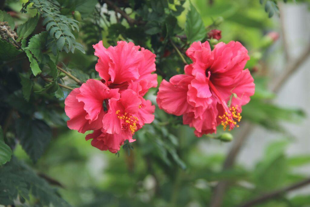 Ebegümeci yenilebilir çiçek