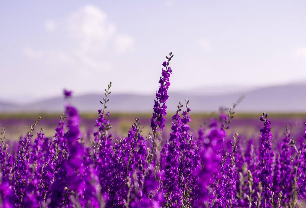 Lavanta yenilebilir çiçek