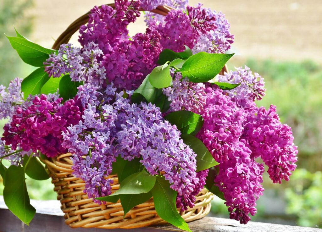 Leylak yenilebilir çiçek