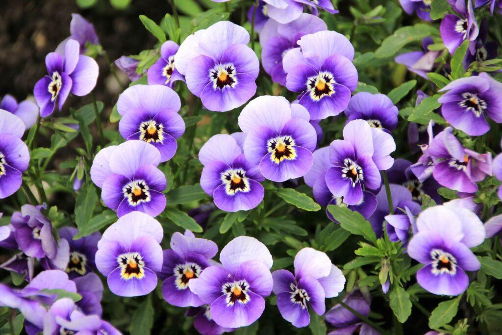 Menekşe Yenilebilir çiçek