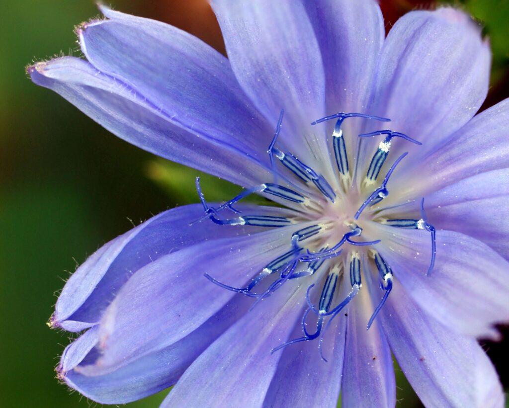 Peygamber çiçeği yenilebilir çiçek