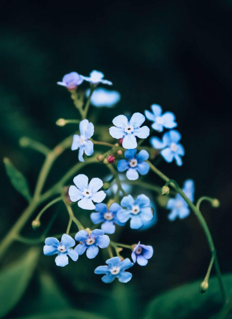 Unutma Beni yenilebilir çiçek
